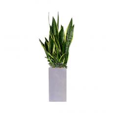 관엽식물-산세베리아-67